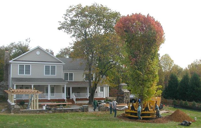 Installation of 25 Foot Tall Maple Tree